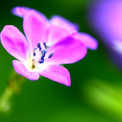Perennial Geranium explored (CCphotoworks) Tags: pink flowers macro canon garden bokeh may perennial pinkflowers mayflowers explored perennialgeraniums
