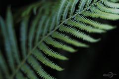 Fern VI (Photofreaks [Thank you for 2.000.000 views]) Tags: park fern ferns farne farn gruga adengs wwwphotofreaksws shopphotofreaksws