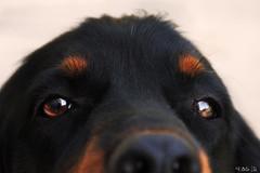 those eyes (estlfd) Tags: pictures summer dog chien black nose fire eyes noir picture yeux part t canoneos freud feu museau 550d canoneospics canoneos550d