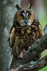 "Long Eared Owl ""Florence"" (Raptor Rapture2012) Tags: magenta"