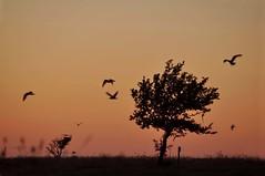Lone Tree Standing (FlorDeOro) Tags: light sunset summer sky sun tree nature beautiful grass birds silhouette night landscape photography evening twilight nikon scenery colorful alone glow sweden gotland nikkor d90 55300mm mijarajc