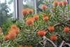 "Leucospermum vestitum - Botanischer Garten Berlin • <a style=""font-size:0.8em;"" href=""http://www.flickr.com/photos/25397586@N00/19581265879/"" target=""_blank"">View on Flickr</a>"