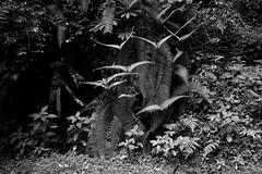 Fern, Arunachal Pradesh India (mafate69) Tags: bw india fern forest asia noiretblanc nb jungle asie himalaya himalayas inde arunachal southasia fougre subcontinent arunachalpradesh indiahimalayas asiedusud blackandwhyte earthasia himalayasproject mafate69 souscontinent