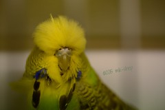 Cheep Hairdo [Explored] (mik-shep) Tags: bird feathers budgerigar budgie 24 melopsittacusundulatus 115picturesin2015 budgeigar