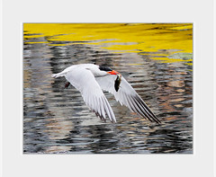 I should catch a smaller one  .....  :-( (UNTIL THEN...) Tags: ca wild fish bird wetlands feed tern huntingtonbeach bolsachica