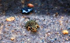 Frog (www.eurodomen.com) Tags: sand legs frog toad marsh