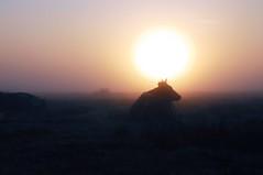 Im Morgen-Nebel - Frsen in der Ossenfenne; Norderstapel, Stapelholm (7aa) (Chironius) Tags: tier stapelholm norderstapel schleswigholstein deutschland germany allemagne alemania germania    ogie pomie szlezwigholsztyn niemcy pomienie morgendmmerung sonnenaufgang morgengrauen  morgen morning dawn sunrise matin aube mattina alba ochtend dageraad zonsopgang   amanecer morgens dmmerung nebel gegenlicht landwirtschaft fog brouillard niebla silhouette himmel sky ciel cielo hemel  gkyz