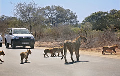 Amazing sighting (crafty1tutu (Ann)) Tags: travel holiday 2016 southafrica africa african krugernationalpark animal lion lioness cub baby babies wild inthewild free roamingfree crafty1tutu canon5dmkiii ef100400mmf4556lisiiusm anncameron naturethroughthelens