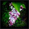 Natural Wonder (dimaruss34) Tags: newyork brooklyn dmitriyfomenko image flower lilac
