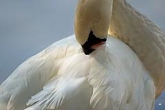 Knobbelzwaan (Cygnus olor) (mia_moreau) Tags: zwaan knobbelzwaan vogel bird dierenportret closeup nederland zuidlimburg limburg miamoreau cygnusolor verenkleed sony
