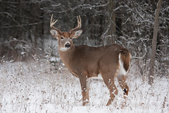 White-tailed deer buck in the winter snow (Jim Cumming) Tags: animal antlers background big buck canada closeup cold curious deer ears fawn forest game hikey hunting isolated large male mammal meadow nature outdoors park portrait rack season snow stag tail tailed trophy white whitetailed whitetailedbuck whitetaileddeer whitetailedfawn whitetail wild wildlife winter
