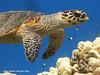 Schildkröte Karibik Mexiko (Planet Mexiko) Tags: mexiko mexico tier fauna wildtiere karibik schildkröte meeresschildkröte tauchen