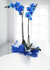 Orkide (cicekmagaza) Tags: orkide orkidegönder
