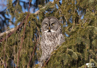 ''Lifer!'' Chouette lapone- greay owl-Stirx nebuosa