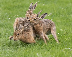 Three's a crowd (Steve C Waddingham) Tags: stevenwaddinghamphotography anim al wild nature brown hare mate spring march mad