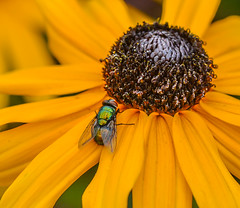 Susan has Bugs. (Omygodtom) Tags: bokeh bug existinglight elitebugs garden outdoors blackeyedsusan fly insect colorful macro macromonday tamron90mm tamron nature nikon d7100 flickr