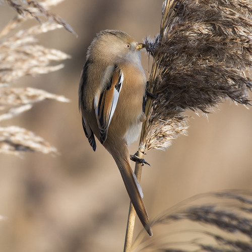 (035) Bird - Bearded Tit (Reedling) - Oulton Marshes