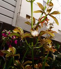 Cymbidium erythraeum species orchid, 1st bloom continues 2-17* (nolehace) Tags: winter nolehace fz1000 217 plant flower bloom cymbidium erythraeum species orchid sanfrancisco