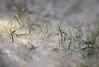 Frozen grass (stijn2525) Tags: canon 600d rebel garden grass macro limburg frozen bevroren cold nature winter