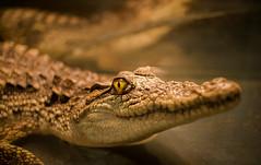 crocodile (Valery Parkhomenko) Tags: nikon d610 arsat 50mm zoo crocodile animal planet animals jungle water yellow ukraine outdoor fx ngc