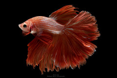 Betta Fish (da nokkaew) Tags: fish white background fighting isolated betta tropical siamese animal aquarium beautiful beauty art pet red motion exotic aggressive nature luxury tail colorful domestic blue dress eye action elegant color cute aquatic fin beta animals ballet power pose swimming chinese water flame biology scale freshwater dancer colourful hobby space pop