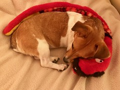 The snake and the bean (KelJB) Tags: comfort love adorable beautiful cute dogbed tired dozing rest sleepingdog mammal pet canine dog terrier jackrussell toy teddy