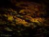 A walk in the forest (chrys goote) Tags: acerpalmatum elginopengardens2016 freshwoods japanesemaple peterandbarbaraknoxshaw
