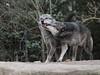 BUDDIES (babsbaron) Tags: wolf timberwolf raubtier predator jäger wolves natur tiere animals