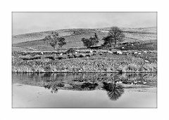Frozen reflections (Missy Jussy) Tags: frozen ice mono monochrome bw blackwhite blackandwhite reflections reservoir water sheep farming farmland rural hills fields trees drystonewalls sky piethornevalley rochdale landscape lancashire england canon canon70200mm canon5dmarkll