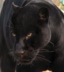 jaguar Mowgli   artis JN6A7412 (j.a.kok) Tags: jaguar mowgli pantheraonca kat cat artis mammal zoogdier zuidamerika southamerica predator