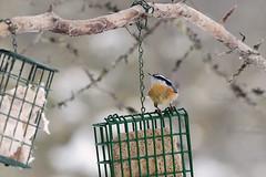 Daks, NY: Red-breasted Nuthatch at Feeder 2 (donna lynn) Tags: nys newyork adirondacks dacks nikon d500 birds birding february winter 2017 feeders sabbitisroad redbreastednuthatch sittacanadensis