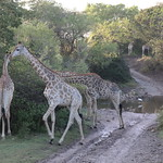 Giraffen kreuzen den Weg, Südafrika