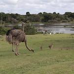 Straußenfamilie, Südafrika