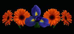 Dare to be Bold (njk1951) Tags: flowers iris stilllife orange spring purple daisy bold onblack gerberadaisy purpleiris orangegerbera boldcolor daretobebold oneiris