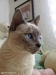 La Nena (Maricarmen Islas) Tags: pet mxico gata nena mascota siams