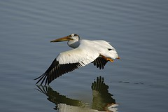 Pelican Takeoff (ardeth.carlson) Tags: lake reflections pelican