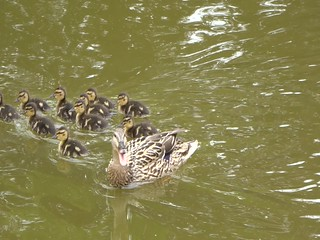 Count the ducklings