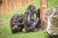 2015-05-29-14h50m22.BL7R1633 (A.J. Haverkamp) Tags: germany zoo momo gorilla duisburg nordrheinwestfalen ayo dierentuin uzuri westelijkelaaglandgorilla canonef100400mmf4556lisusmlens pobstuttgartgermany pobduisburggermany dob15102008 dob03061982 httpwwwzooduisburgde dob27052015