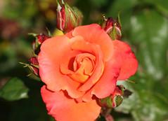 11-IMG_4318 (hemingwayfoto) Tags: rose flora pflanze tequila gelb blume blte stadtpark botanik blhen duftend rosengewchs beetrose