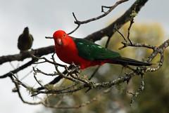 King Parrot (smurfie_77) Tags: bird nikon parrot australia queensland oreillys kingparrot lamingtonnationalpark nativespecies goldcoasthinterland feedthebirds scenicrim d80 rainforestretreat
