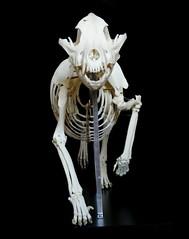 Squelette / Skeleton American Staffordshire Terrier (Canis familiaris) (JC-Osteo) Tags: dog chien skeleton skull bull pitbull bones bone bully amstaff crâne canis americanstaffordshireterrier carnivora squelette canisfamiliaris canidae americanstaffordshire osteology ostéologie jctheil