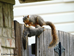 Who Knew There Was A Learning Curve For Fence Walking  Part 5 (Kaptured by Kala) Tags: baby nature fence squirrel squirrels mama klutz babysquirrel foxsquirrel mamaandbaby garlandtexas mamasquirrel fencewalkinglessons