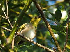 Japanese white-eye (メジロ) (Greg Peterson in Japan) Tags: shigaprefecture japan jpn wildlife ritto takano birds shiga otherbirds