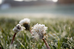 Frosty Armley Morning (pastyblob) Tags: dandelion frost park city yorkshire leeds armley