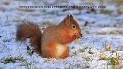 Happy Holidays ................. (nick.linda) Tags: merrychristmas happynewyear feliznavidad joyeuxnoel buonnatale vrolijkkerstfeest froheweihnachten godjul redsquirrel sciurusvulgaris