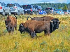 Bison Blues (Philip Kuntz) Tags: bison buffalo bisonbull bellowingbisonbull bisonjam yellowstone lamarvalley tourists yellowstonenationalpark wyoming