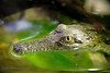 Baby croc (Howard Ferrier) Tags: oceania victoria floating australia parkville reptile melbournezoo melbourne water green anatomy crocodile eye zoo float
