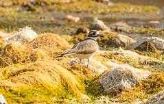 7K8A7044 (rpealit) Tags: scenery wildlife nature east hatchery hackettstown killdeer bird