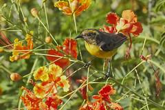 Bananaquit (ronmcmanus1) Tags: antigua bird nature outdoors wildlife jollyharbour stmarysparish antiguabarbuda