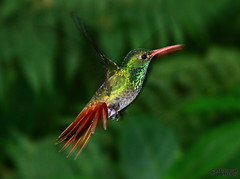 Tyrian Metaltail (Metallura tyrianthina) (Mahmoud R Maheri) Tags: bird hummingbird tyrianmetaltail metalluratyrianthina ecuador yanacochareserve quito forest rainforest flying